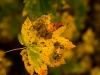 GSB_Canada-4223-20141021_Autumn_Leaves.jpg