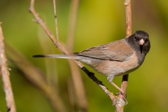 2015 April Juncos