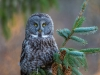 GSB_Canada-3448-20150221_Great_Grey_Owl.jpg