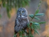 GSB_Canada-3449-20150221_Great_Grey_Owl.jpg