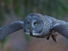GSB_Canada-3457-20150221_Great_Grey_Owl.jpg