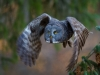GSB_Canada-3458-20150221_Great_Grey_Owl.jpg
