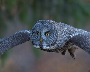 GSB_Canada-3457-20150221_Great Grey Owl